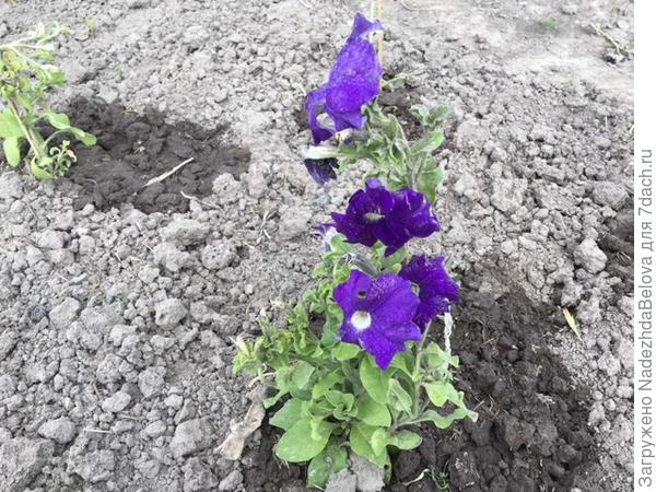 15 мая. Растения высажены на грядку