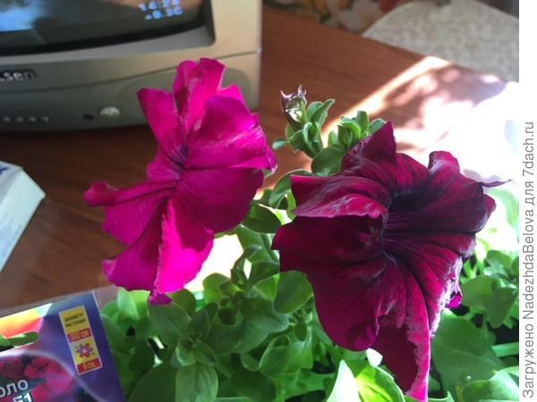 12 апреля. Бургунди цветут на солнечном подоконнике