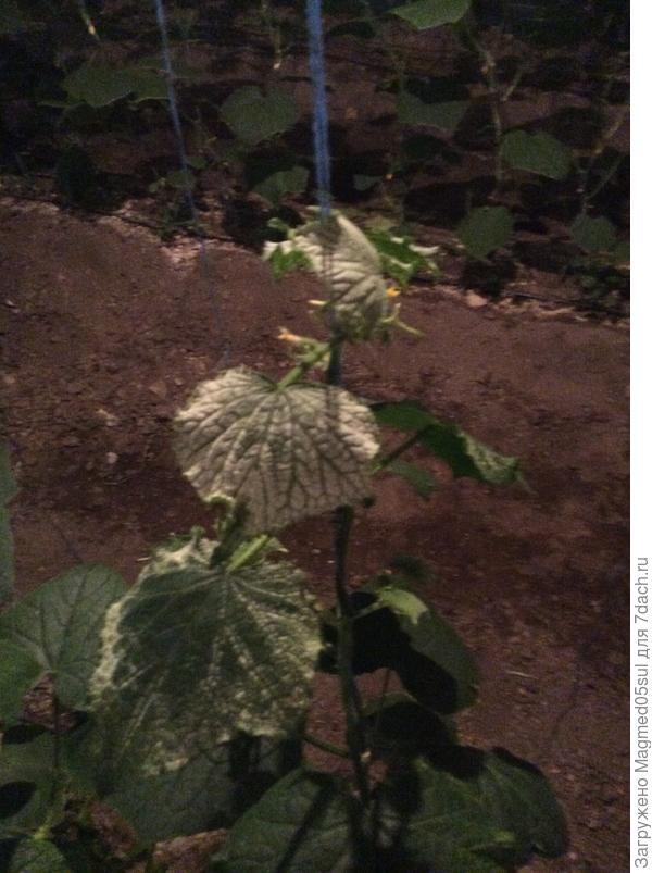 Почему побелели верхушки у побегов огурца? Как лечить растения?