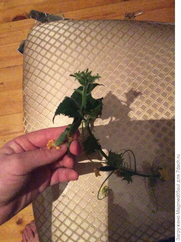 Почему растение огурца с такими маленькими листьями в точке роста?