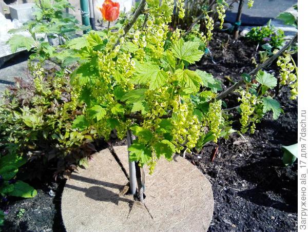 Штамбовая смородина растет у меня возле дома в цветнике