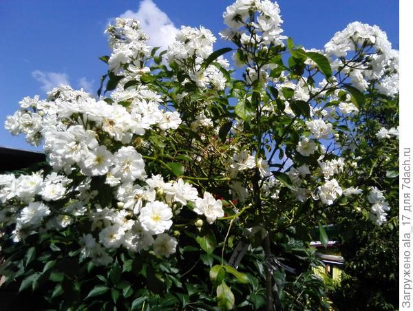 Штамбовая роза Guirlande d,Amour. В 2017 г. ей будет 3 года. Но еще сильно не разрослась.