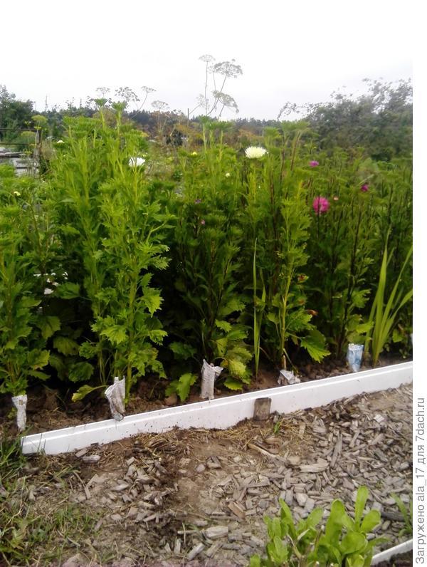 За садовым участком нам выделили дополнительные сотки под огород. Я его использую и для выращивания цветов. Например астры и гладиолусы я выращиваю для срезки и растут они у меня в огороде на градках.