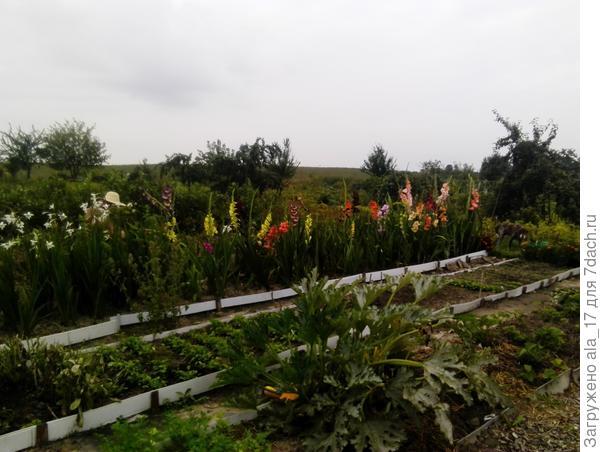 Гладиолусы в огороде