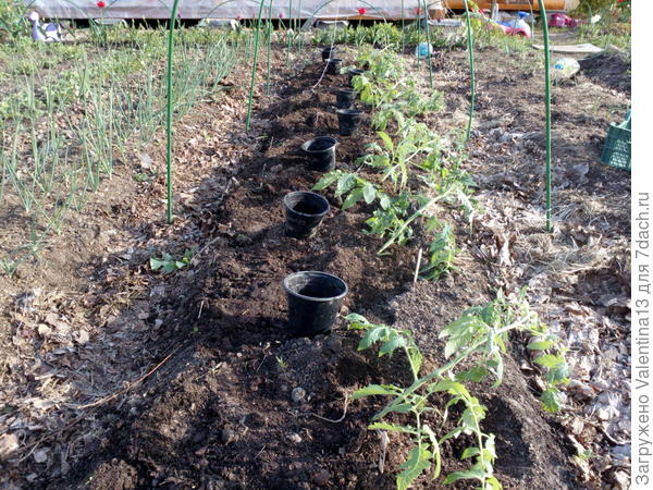 Высаживают помидора