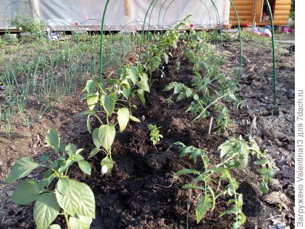 Досаживаю перец и базилик к томатам