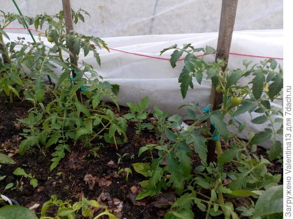 Первые завязи томатов на грядке.