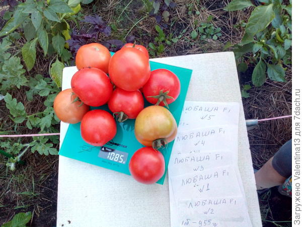 Общий вес с куста помидоры N4 первый сбор