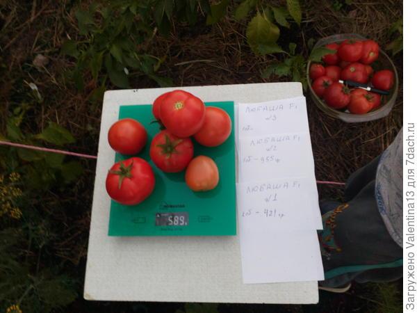 Общий вес с куста помидоры N3