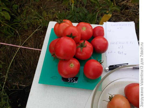 Общий вес скуста помидоры N 2 первый сбор.