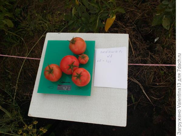 Общий вес с куста помидоры N1,первый сбор.