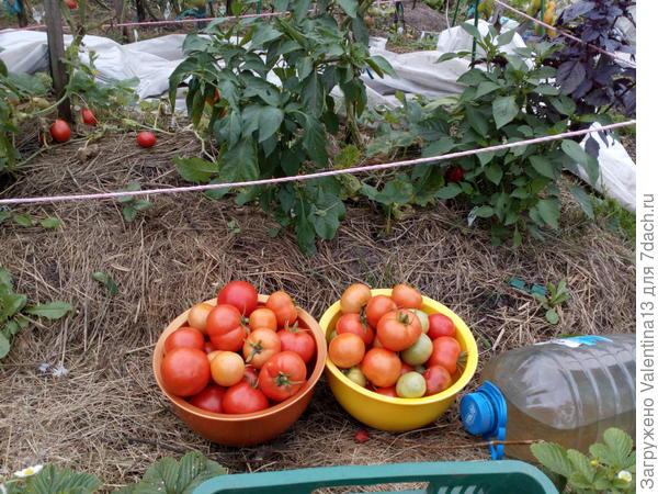Третий урожай с Любаши