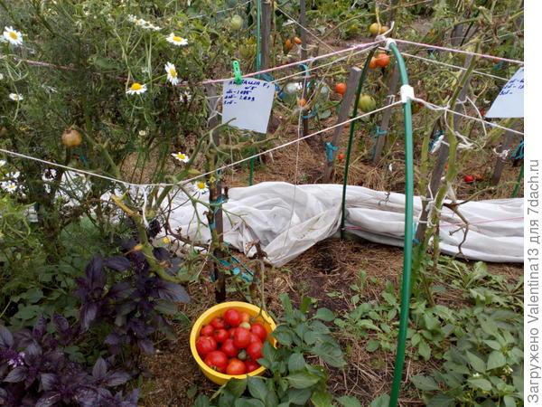 Третий и заключительный урожай с Любаши N5