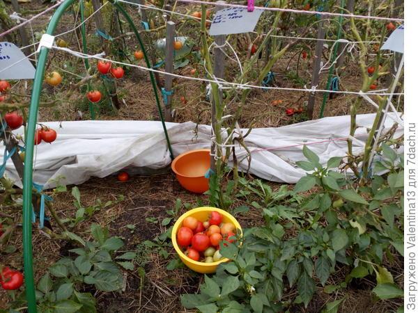 Третий и заключительный урожай с Любаши N4