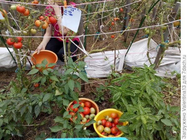 Третий и заключительный урожай Любаши N3