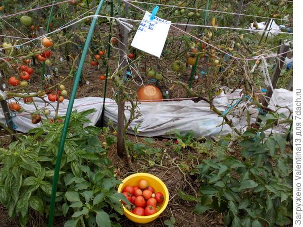 Третий урожай с Любаши N2