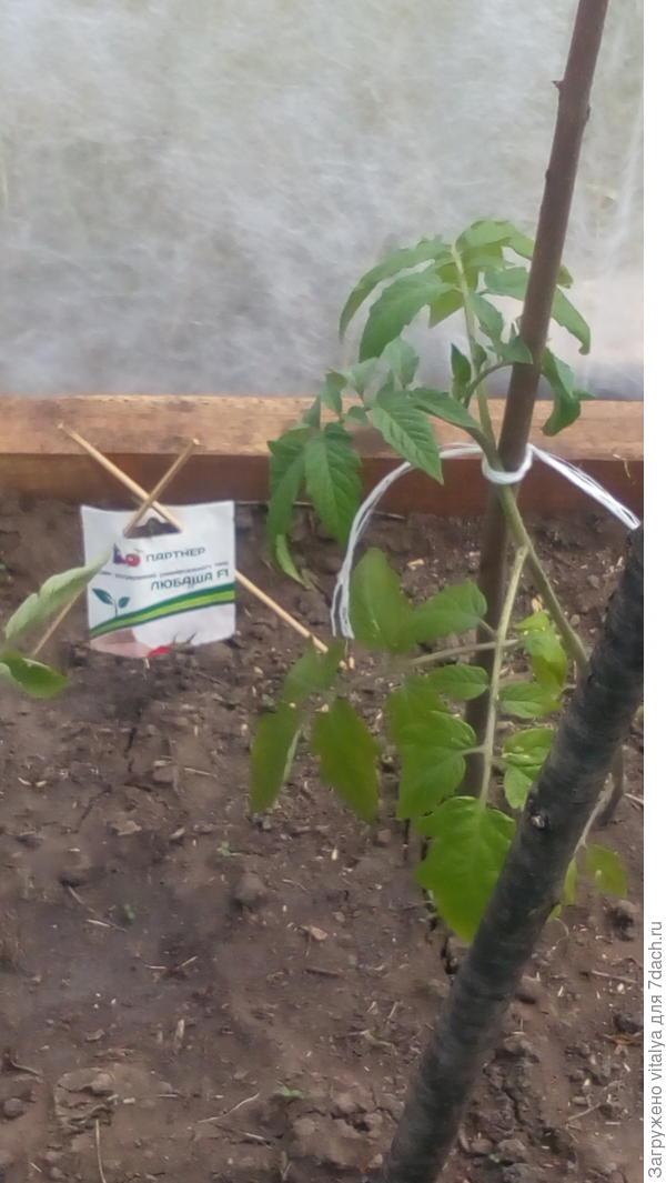 Вот он первый томат в первой грядке