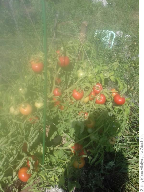 томат Любаши на солнце