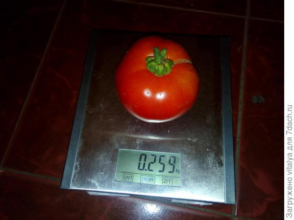 второй по весу томат Любаша 259 гр.