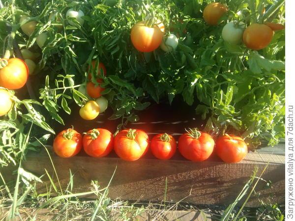 флажковый томат впереди