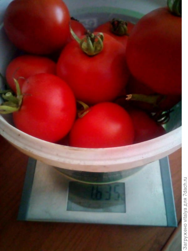 вес томатов с куста грядки №1 с тарой