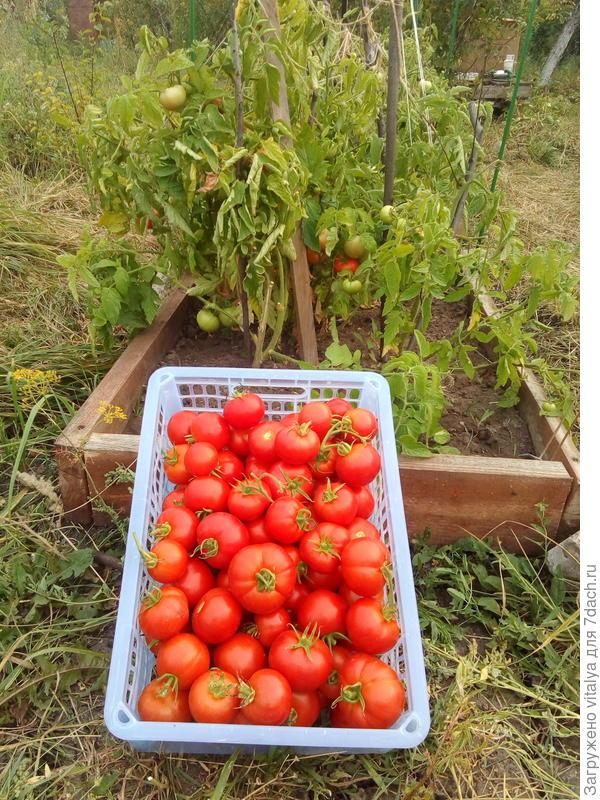 """томат """"Любаша"""" от 2 сентября 2017 года и сбор урожая."""