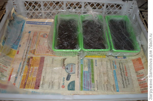 Емкости с семенами тестируемой петунии в торфяных таблетках