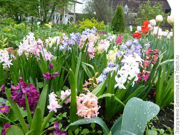 Весны дыхание и аромат гиацинтов