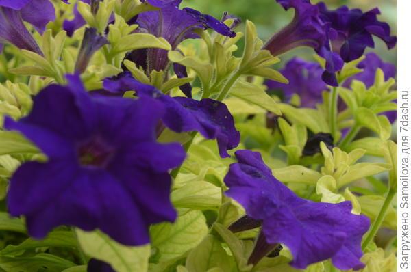 Комплиментуния голубая крупноцветковая