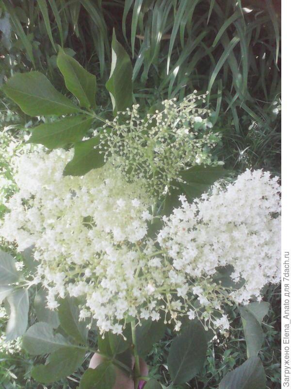 цветет черная бузина