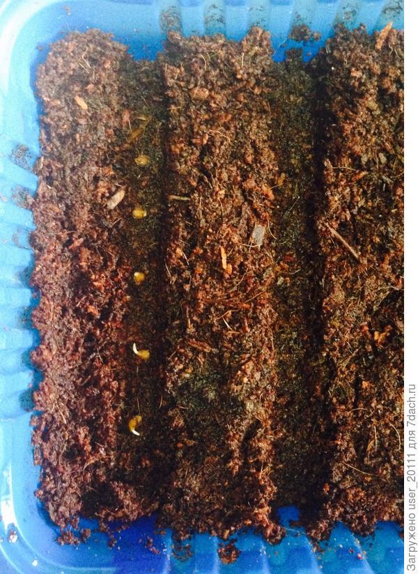 Все!!! Семяшки Любаши перебрались в то место, где они будут прорастать и расти около месяца. Дальнейшая судьба моей рассады - это переезд в отдельные квартирки объёмом 500 мл с землёй для рассады томатов. Но это уже следующая история приключений Любаши у Наташи!