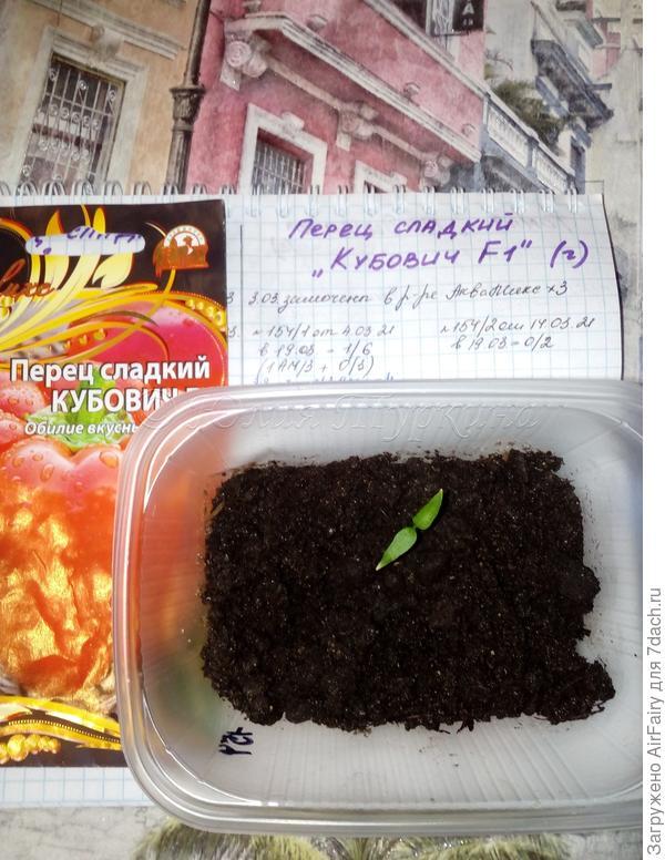 История двух перцев. От семечка до скромненьких малюток