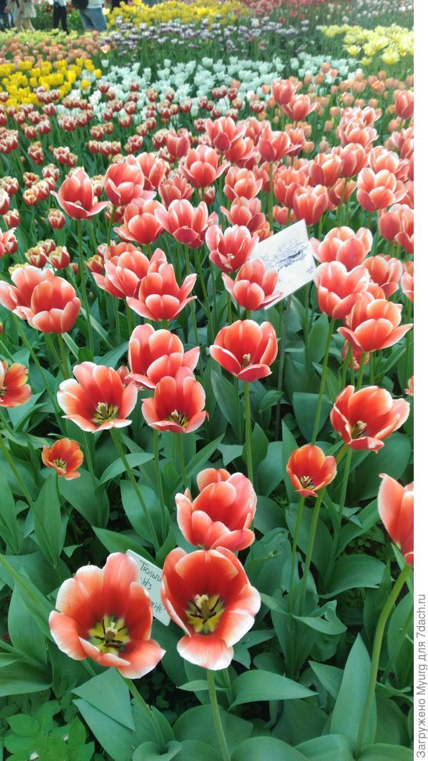 Хоровод тюльпанов