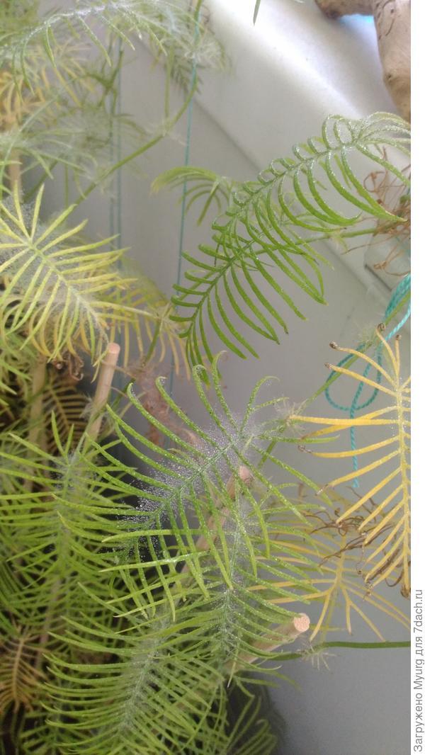 видна паутина на листьях ипомеи