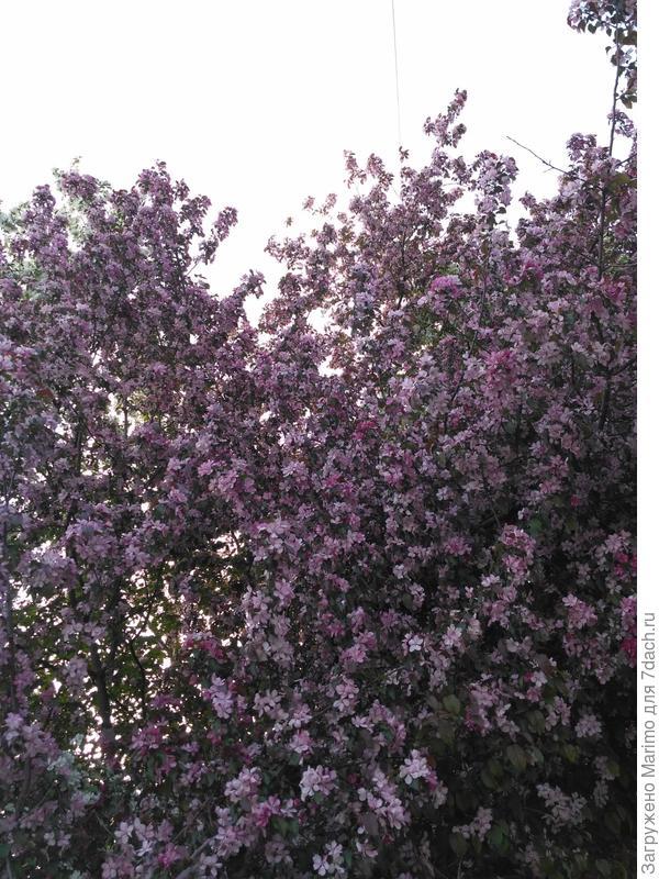 яблони в цвету-какое чудо