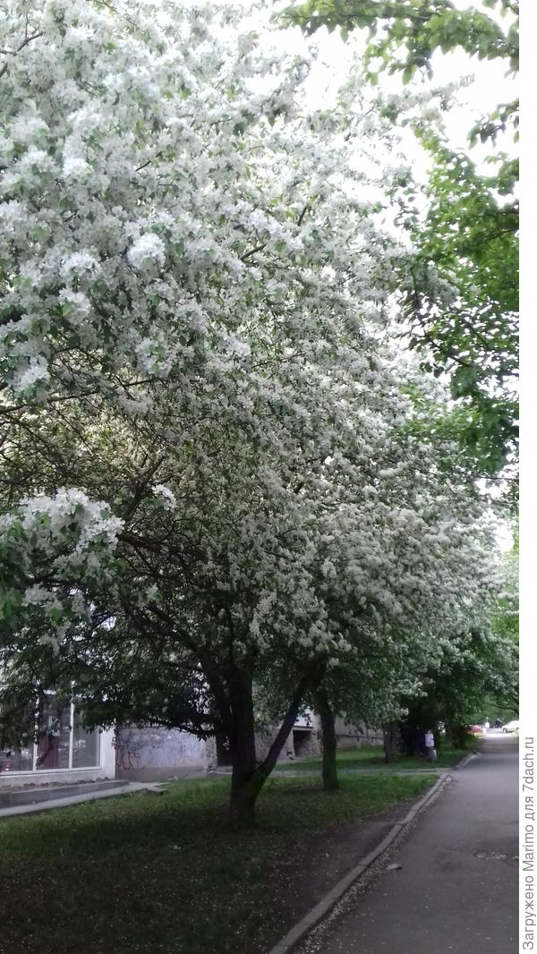 яблони в цвету любви круженье