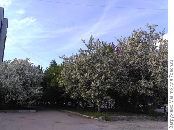 яблони в цвету я не забуду