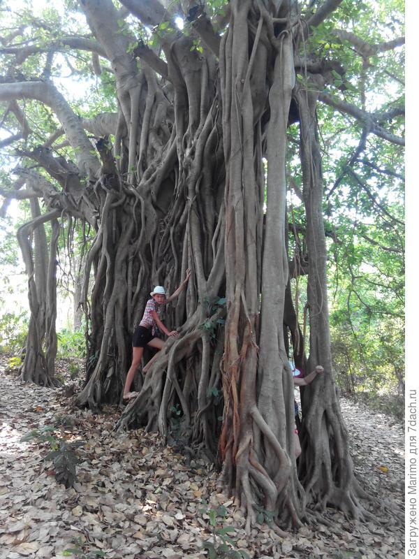 Баньян-шагающее дерево