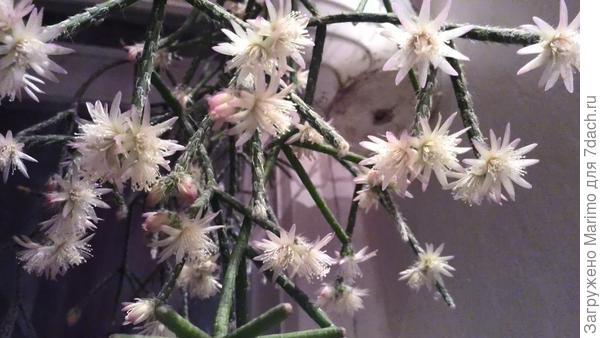 рипсалис цветет