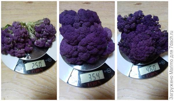 Капуста цветная 'Фиолетовый шар' F1. Фиолетовое настроение