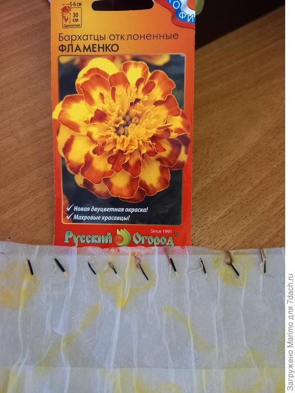 Бархатцы Фламенко. От посева до пересадки