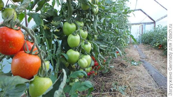 Первый урожай томатов 11.07.2017