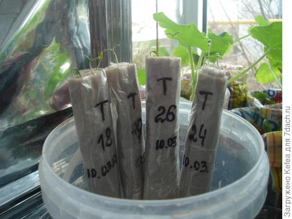 проростки томатов в пеленках