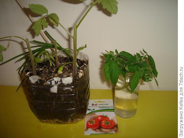 Здесь три стволика отрезанных томатов и макушки в растворе