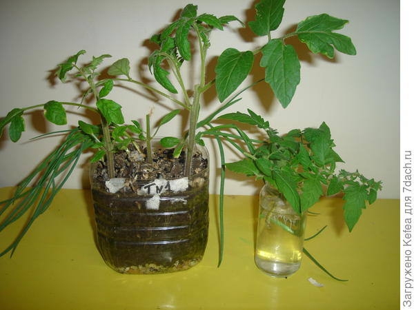 стебли Любаши с пасынками