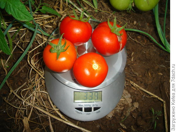 Общий вес спелых плодов с кустика номер 6