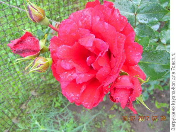 розы в день рождения