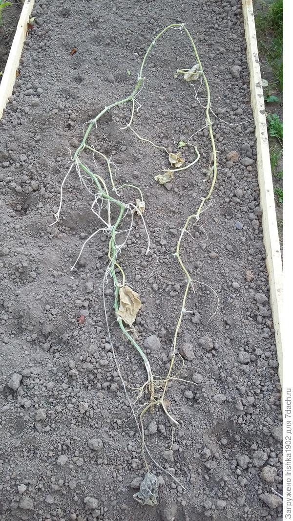 плеть и корень