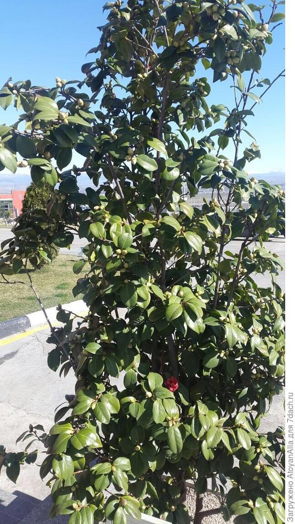 подскажите пожалуйста что это за дерево если знаете?