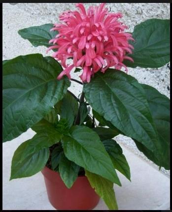 Цветущие комнатные растения | Начинающему цветоводу